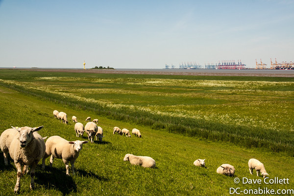 Sheep with the port of Bremenhaven in the distance